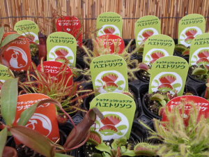 夏を快適に!!食虫植物おまかせ3ポットセット(ショクチュウショクブツ)