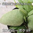 袋状の葉っぱが印象的!!カンガルーポケット(ディスキディア・つる性・大株・ポット苗)