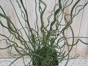 ラセンイ(スパイラル・観葉植物・水辺植物)の写真