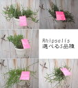 森林のサボテンだから丈夫。選べる5品種 Rhipsalis(リプサリス・サボテン・吊り・多肉植物・観...