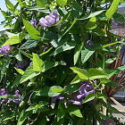 ベンガルヤハズカズラサンシェードブルー(花持ちが良くグリーンカーテン・オベリスク・あんどんに最適!!CO2対策10.5cmポット