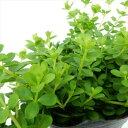 ペペロミア イザベル(ミニ観葉植物 インドアグリーン 9cmポット)