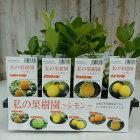 私の果樹園〜選べるレモン4品種〜(鉢植え専用柑橘苗9cmポット)