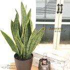 サンセベリア6号鉢送料無料観葉植物苗インテリアサンスベリアトラノオ