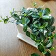 フィカス シャングリラ つる性ガジュマル 9cmポット 観葉植物