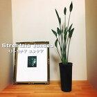 ストレリチアユンケア(極楽鳥花観葉植物インドアグリーン3.5号)