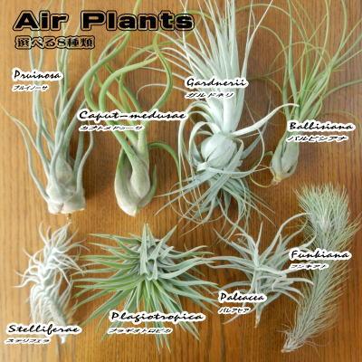選べるエアープランツ Part1 (エアープランツ エアプランツ 観葉植物)