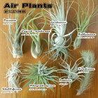 選べるエアープランツ7種類(エアープランツエアプランツ観葉植物)