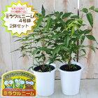 ニームミラクルニーム2鉢セット4号鉢夏の虫よけ対策ハーブ天然植物性農薬