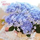 母の日ギフトあじさいふわわ母の日ギフト贈り物プレゼントアジサイ紫陽花5号鉢送料無料花鉢植え