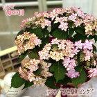 母の日ギフトアジサイひな祭りピンク5号鉢送料無料贈り物プレゼントあじさい紫陽花花鉢植え