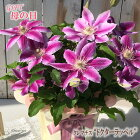 母の日ギフトクレマチスドクターラッペル5号鉢送料無料贈り物プレゼント花鉢植え