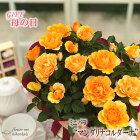 母の日ギフトミニバラマンダリナコルダーナ5号鉢送料無料贈り物プレゼント花鉢植え