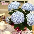 母の日ギフトアジサイてまりてまりブルー5号鉢送料無料贈り物プレゼントあじさい紫陽花花鉢植え