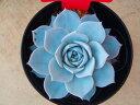 ピーコッキー プラチナドレス(エケべリア)多肉植物