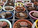 ユニークな形がいっぱい!! メセンブリアンテマム(メセン) おまかせ6個セット 多肉植物