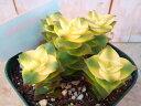 クラッスラ 『南十字星』 多肉植物