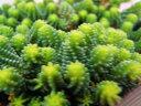 セダム 『サクサグラレモスグリーン』 多肉植物