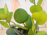 クセロシキオス グリーン 多肉植物