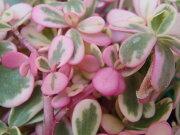 ポーチュラカ 多肉植物