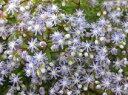 セダムで唯一青い花セダム『カウルレア(カエルレウム)』多肉植物