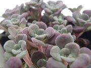 スパスリフォリウム パープレウム 多肉植物