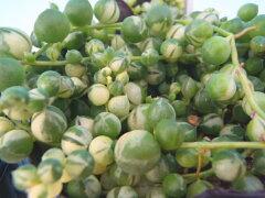 斑入りのグリーンネックレス(多肉植物・室内観葉・9cmポット)