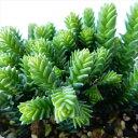 クラッスラ ムスコサーサ(多肉植物 9cmポット)
