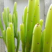 ユーフォルビア カウボーイ ブッシュ 多肉植物
