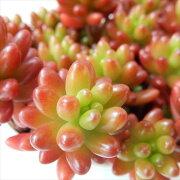 多肉植物 ニジノタマ