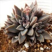 グラプトベリア ルスビー 多肉植物