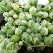 グリーン ネックレス 多肉植物