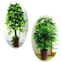 ベンジャミン&観音竹 特別2個セット 大型 観葉植物 店舗やリビングに...