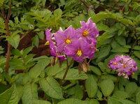 ジャガキッズ・レッドの花