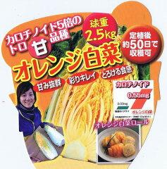 白菜(ハクサイ)オレンジ白菜 9cmポット苗2本セット【9月中旬出荷】