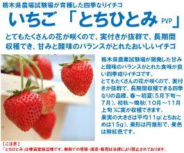 四季なりいちご苗とちひとみ(pvp)9cmポット苗2本セット【9月下旬発送分予約】