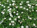 <新品種> クラピアk7(白花) 9cmポット苗 40本セット【送料無料】【同梱不可商品】