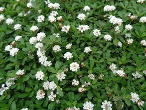 クラピアk7(白花)9cmポット苗