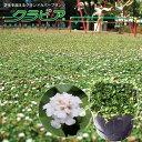 【感謝フェア開催中!】★新品種★スーパーイワダレソウ「クラピア」 K7(花色:白) 9cmポット苗