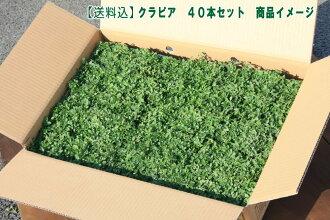 クラピアk59cmポット苗40本セット【送料無料】