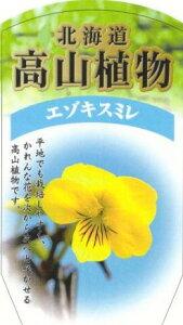 エゾキスミレ(蝦夷黄菫) 2本セット