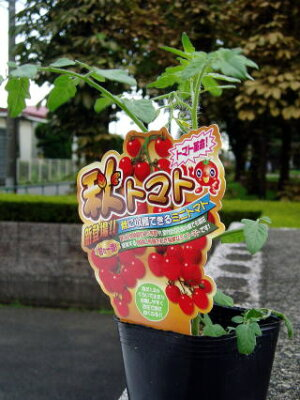 トマト革命!! 秋トマトの苗