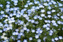 【種子】ネモフィラ 10ミリリットル(約4,900粒)入 【郵送対応】