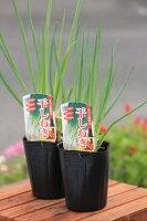 京野菜「ほしねぎ(九条ねぎ)」芽出し苗【9月上旬頃より出荷】