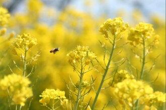 ワイルドフラワー景観植物のたね「菜の花(ナノハナ、アブラナ、あぶらな、ナタネ、なたね)1リットル入」
