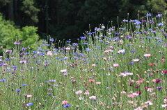 ワイルドフラワー 景観植物のたね「矢車草(やぐるまそう、ヤグルマソウ、セントーレア)混合...