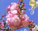 桜・八重桜