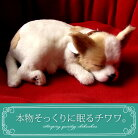 【本物そっくりに眠るチワワ(スムース)のぬいぐるみ】パーフェクトペット|犬のぬいぐるみ|動くぬいぐるみクリスマス|誕生日|プレゼント|ギフト|お見舞い【N-UC-D】