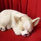 【本物そっくりに眠るチワワ(スムース)のぬいぐるみ】パーフェクトペット|犬のぬいぐるみ|動くぬいぐるみクリスマス|誕生日|プレゼント|ギフト|お見舞い