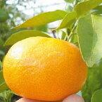 柑橘類の苗 【 日南 ( にちなん ) 2年生苗木 】 [みかん ミカン 蜜柑 かんきつ カンキツ 柑橘 苗 ]